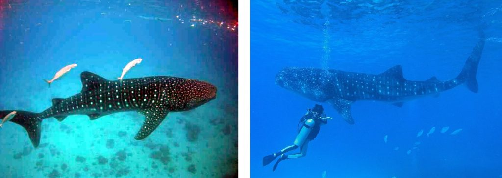 Philippines best country in Asia for whale sharks